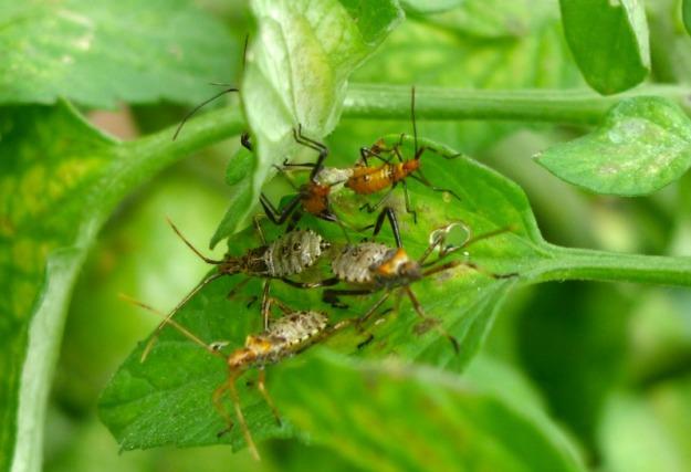 Nasty mystery bugs swarming my sick tomato plants.